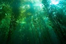 -Kelp-Forest-oceans-34416311-500-334